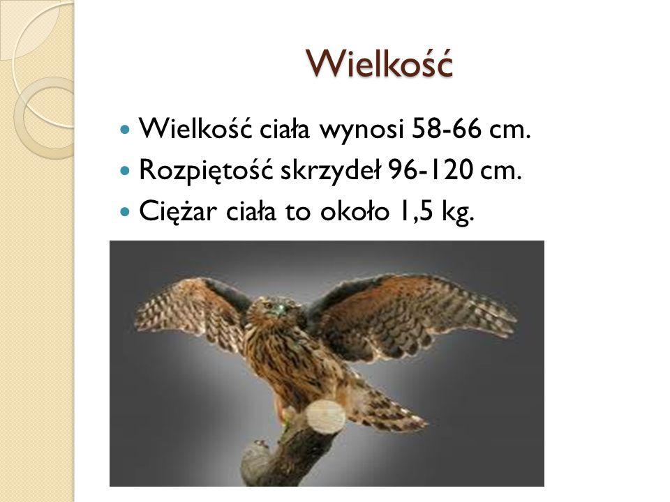 Wielkość Wielkość ciała wynosi 58-66 cm. Rozpiętość skrzydeł 96-120 cm. Ciężar ciała to około 1,5 kg.