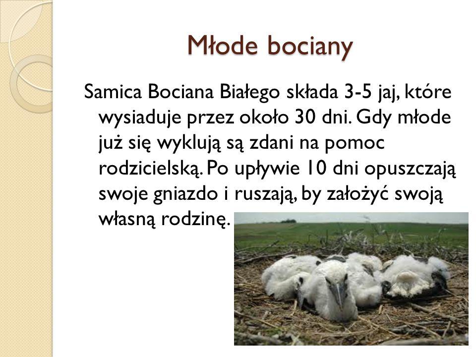 Młode bociany Samica Bociana Białego składa 3-5 jaj, które wysiaduje przez około 30 dni. Gdy młode już się wyklują są zdani na pomoc rodzicielską. Po