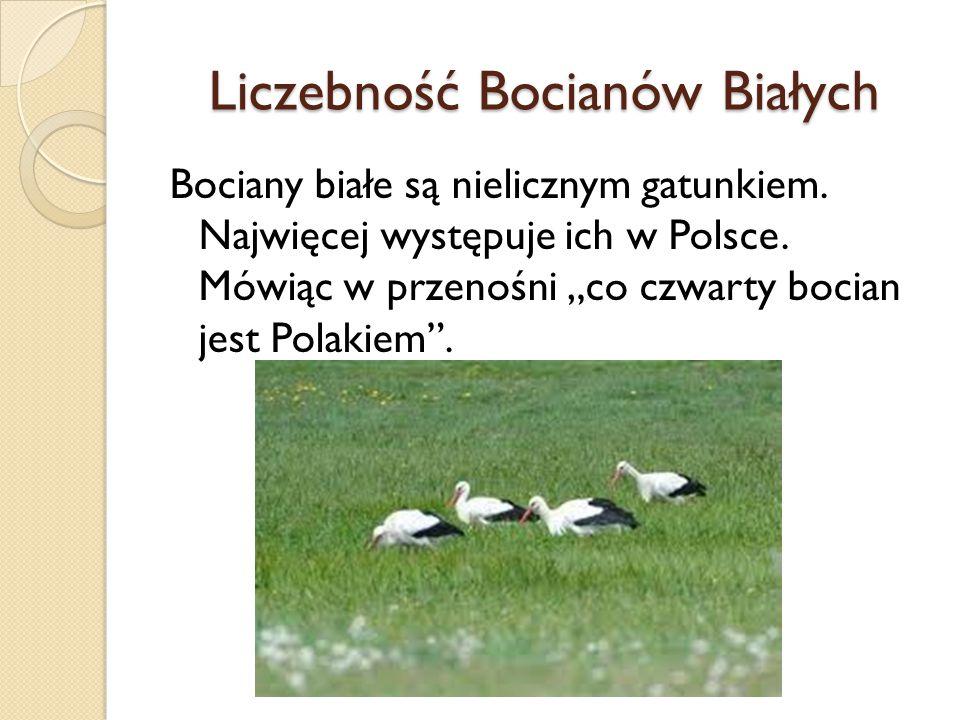 """Liczebność Bocianów Białych Bociany białe są nielicznym gatunkiem. Najwięcej występuje ich w Polsce. Mówiąc w przenośni """"co czwarty bocian jest Polaki"""