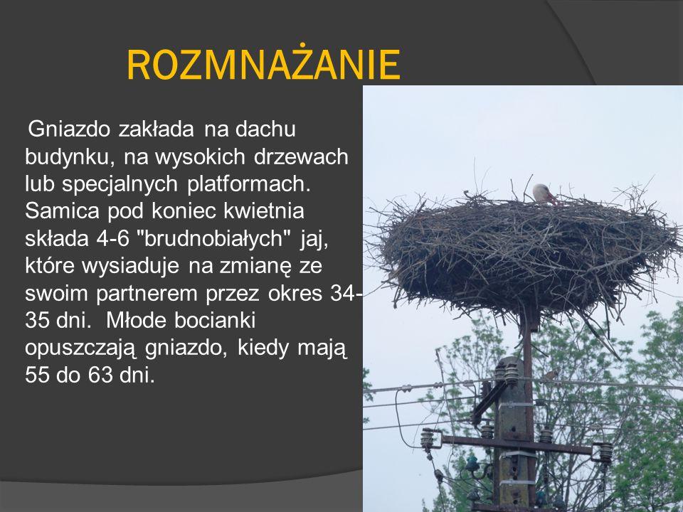 ROZMNAŻANIE Gniazdo zakłada na dachu budynku, na wysokich drzewach lub specjalnych platformach. Samica pod koniec kwietnia składa 4-6