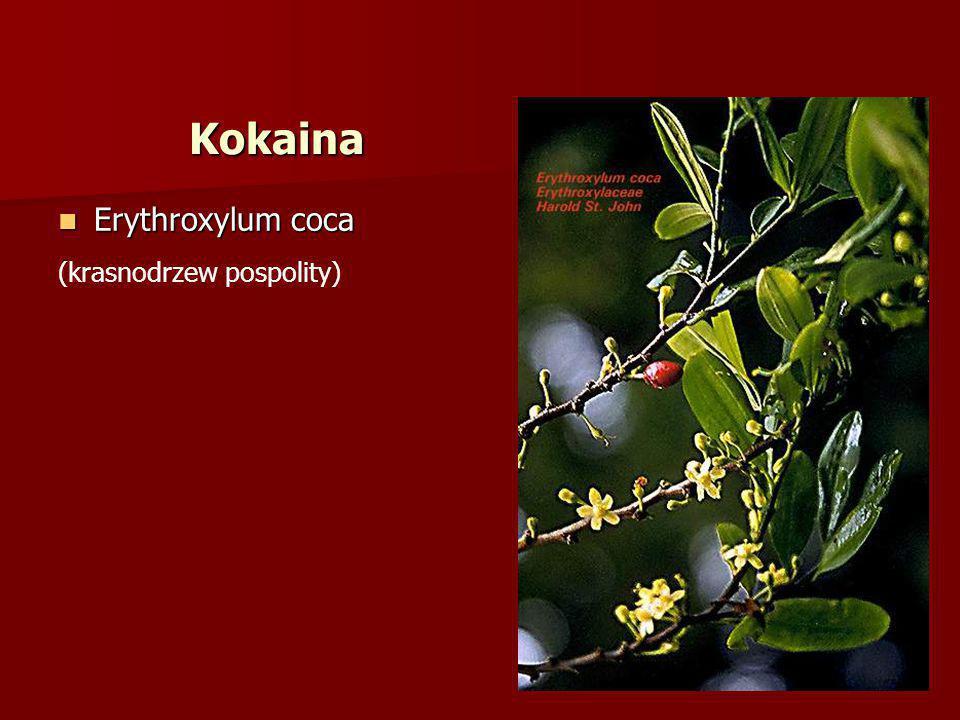 Erythroxylum coca Erythroxylum coca (krasnodrzew pospolity) Kokaina