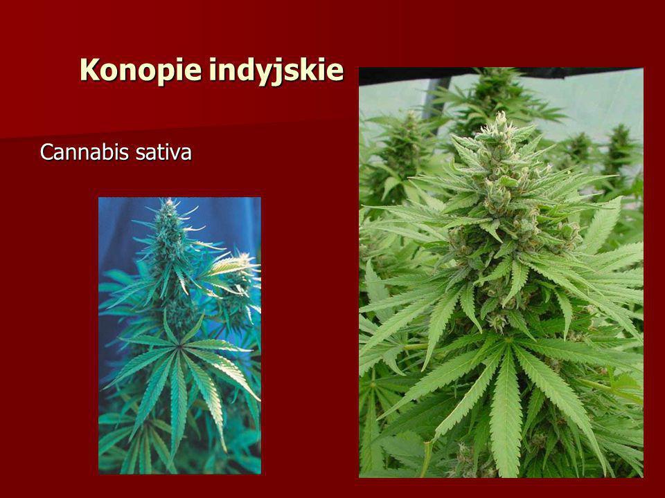 Cannabis sativa Konopie indyjskie