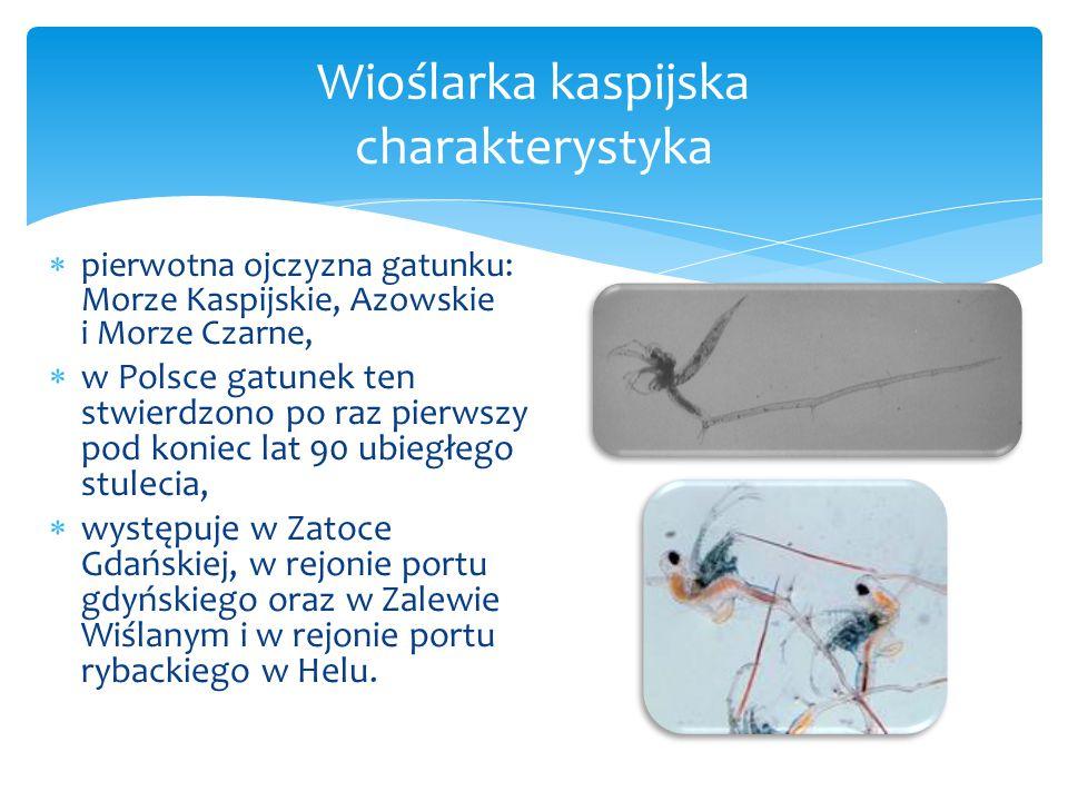  pierwotna ojczyzna gatunku: Morze Kaspijskie, Azowskie i Morze Czarne,  w Polsce gatunek ten stwierdzono po raz pierwszy pod koniec lat 90 ubiegłego stulecia,  występuje w Zatoce Gdańskiej, w rejonie portu gdyńskiego oraz w Zalewie Wiślanym i w rejonie portu rybackiego w Helu.