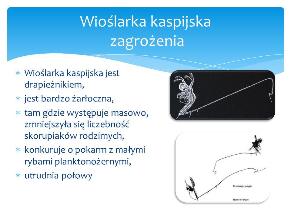  Wioślarka kaspijska jest drapieżnikiem,  jest bardzo żarłoczna,  tam gdzie występuje masowo, zmniejszyła się liczebność skorupiaków rodzimych,  konkuruje o pokarm z małymi rybami planktonożernymi,  utrudnia połowy Wioślarka kaspijska zagrożenia