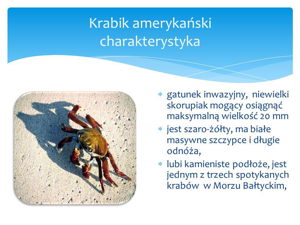 Krabik amerykański charakterystyka  gatunek inwazyjny, niewielki skorupiak mogący osiągnąć maksymalną wielkość 20 mm  jest szaro-żółty, ma białe masywne szczypce i długie odnóża,  lubi kamieniste podłoże, jest jednym z trzech spotykanych krabów w Morzu Bałtyckim,