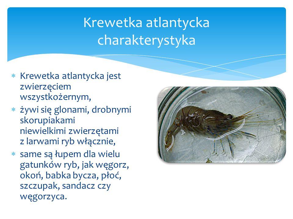  Krewetka atlantycka jest zwierzęciem wszystkożernym,  żywi się glonami, drobnymi skorupiakami niewielkimi zwierzętami z larwami ryb włącznie,  same są łupem dla wielu gatunków ryb, jak węgorz, okoń, babka bycza, płoć, szczupak, sandacz czy węgorzyca.