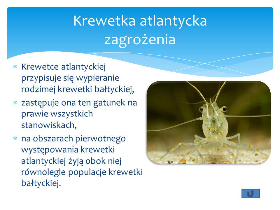  Krewetce atlantyckiej przypisuje się wypieranie rodzimej krewetki bałtyckiej,  zastępuje ona ten gatunek na prawie wszystkich stanowiskach,  na ob