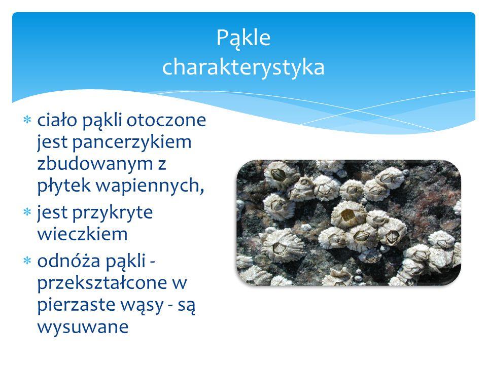  ciało pąkli otoczone jest pancerzykiem zbudowanym z płytek wapiennych,  jest przykryte wieczkiem  odnóża pąkli - przekształcone w pierzaste wąsy - są wysuwane Pąkle charakterystyka