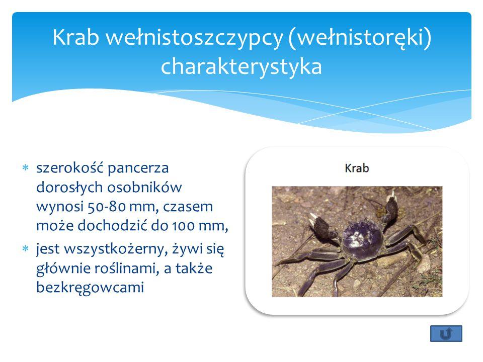  szerokość pancerza dorosłych osobników wynosi 50-80 mm, czasem może dochodzić do 100 mm,  jest wszystkożerny, żywi się głównie roślinami, a także bezkręgowcami Krab wełnistoszczypcy (wełnistoręki) charakterystyka
