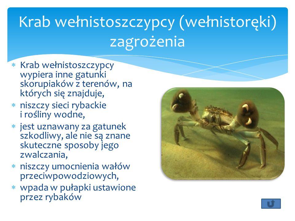  Krab wełnistoszczypcy wypiera inne gatunki skorupiaków z terenów, na których się znajduje,  niszczy sieci rybackie i rośliny wodne,  jest uznawany za gatunek szkodliwy, ale nie są znane skuteczne sposoby jego zwalczania,  niszczy umocnienia wałów przeciwpowodziowych,  wpada w pułapki ustawione przez rybaków Krab wełnistoszczypcy (wełnistoręki) zagrożenia