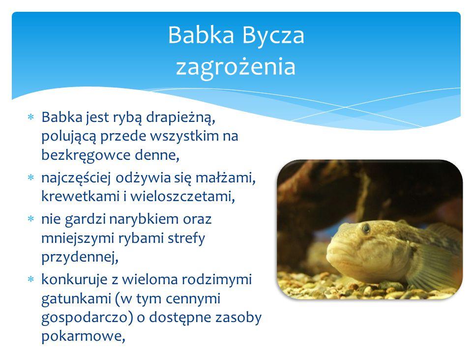  Babka jest rybą drapieżną, polującą przede wszystkim na bezkręgowce denne,  najczęściej odżywia się małżami, krewetkami i wieloszczetami,  nie gardzi narybkiem oraz mniejszymi rybami strefy przydennej,  konkuruje z wieloma rodzimymi gatunkami (w tym cennymi gospodarczo) o dostępne zasoby pokarmowe, Babka Bycza zagrożenia