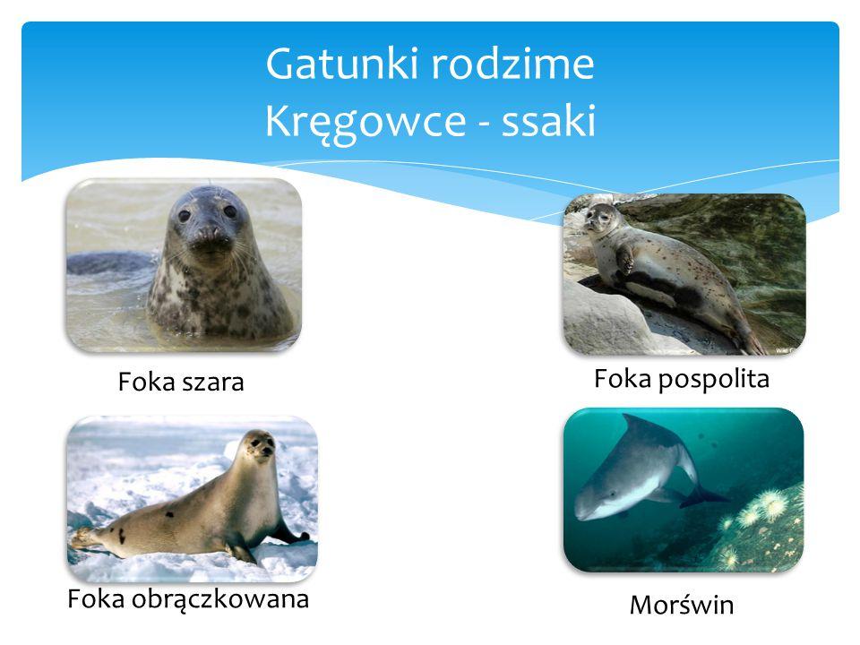 Gatunki rodzime Kręgowce - ssaki Foka szara Foka obrączkowana Foka pospolita Morświn