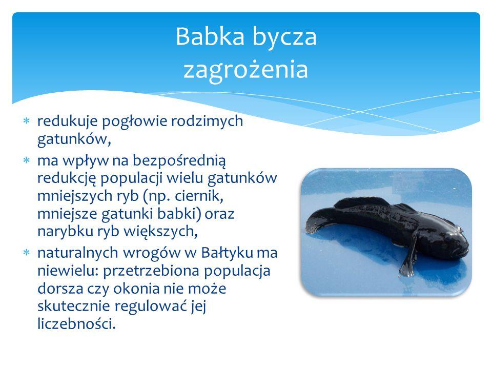  redukuje pogłowie rodzimych gatunków,  ma wpływ na bezpośrednią redukcję populacji wielu gatunków mniejszych ryb (np. ciernik, mniejsze gatunki bab