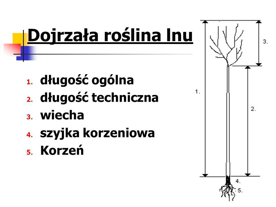 Dojrzała roślina lnu 1. długość ogólna 2. długość techniczna 3. wiecha 4. szyjka korzeniowa 5. Korzeń