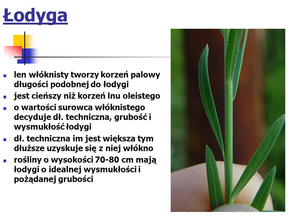 Łodyga len włóknisty tworzy korzeń palowy długości podobnej do łodygi jest cieńszy niż korzeń lnu oleistego o wartości surowca włóknistego decyduje dł