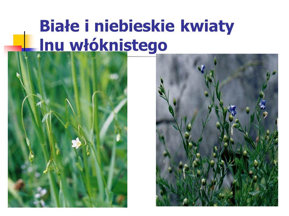 Białe i niebieskie kwiaty lnu włóknistego