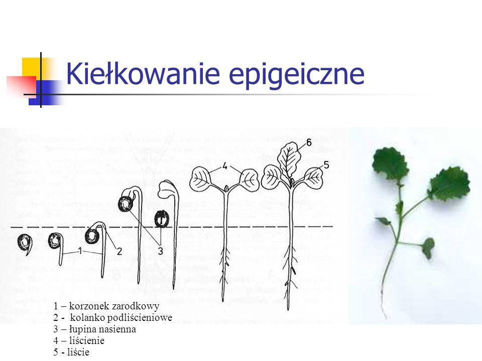 Kiełkowanie epigeiczne 1 – korzonek zarodkowy 2 - kolanko podliścieniowe 3 – łupina nasienna 4 – liścienie 5 - liście