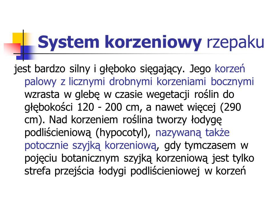 System korzeniowy rzepaku jest bardzo silny i głęboko sięgający. Jego korzeń palowy z licznymi drobnymi korzeniami bocznymi wzrasta w glebę w czasie w