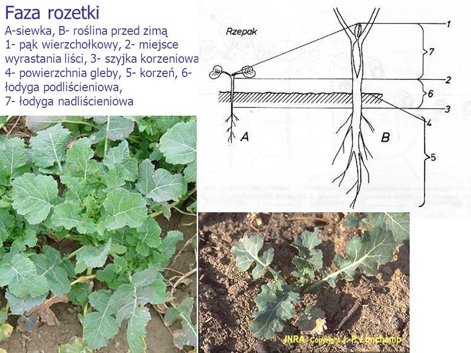 Faza rozetki A-siewka, B- roślina przed zimą 1- pąk wierzchołkowy, 2- miejsce wyrastania liści, 3- szyjka korzeniowa, 4- powierzchnia gleby, 5- korzeń
