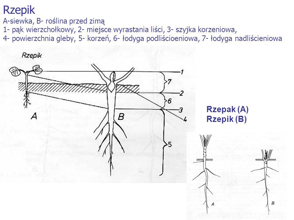 Rzepik A-siewka, B- roślina przed zimą 1- pąk wierzchołkowy, 2- miejsce wyrastania liści, 3- szyjka korzeniowa, 4- powierzchnia gleby, 5- korzeń, 6- ł