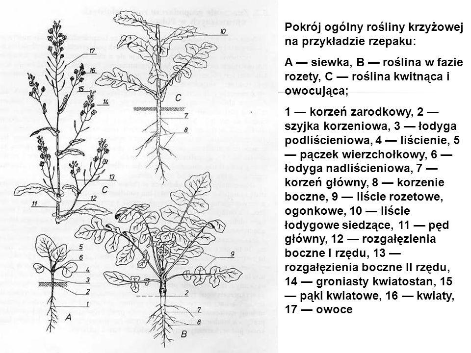 Pokrój ogólny rośliny krzyżowej na przykładzie rzepaku: A — siewka, B — roślina w fazie rozety, C — roślina kwitnąca i owocująca; 1 — korzeń zarodkowy