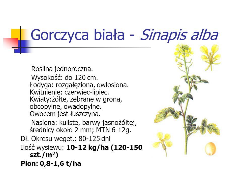 Gorczyca biała - Sinapis alba Roślina jednoroczna. Wysokość: do 120 cm. Łodyga: rozgałęziona, owłosiona. Kwitnienie: czerwiec-lipiec. Kwiaty:żółte, ze
