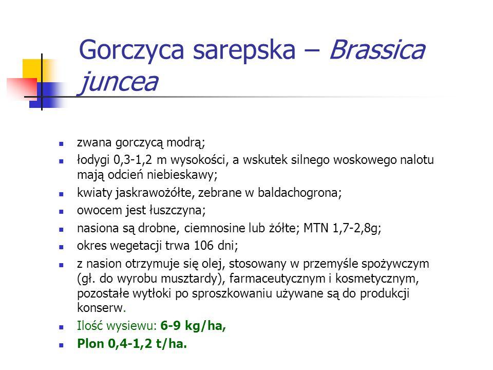 Gorczyca sarepska – Brassica juncea zwana gorczycą modrą; łodygi 0,3-1,2 m wysokości, a wskutek silnego woskowego nalotu mają odcień niebieskawy; kwia