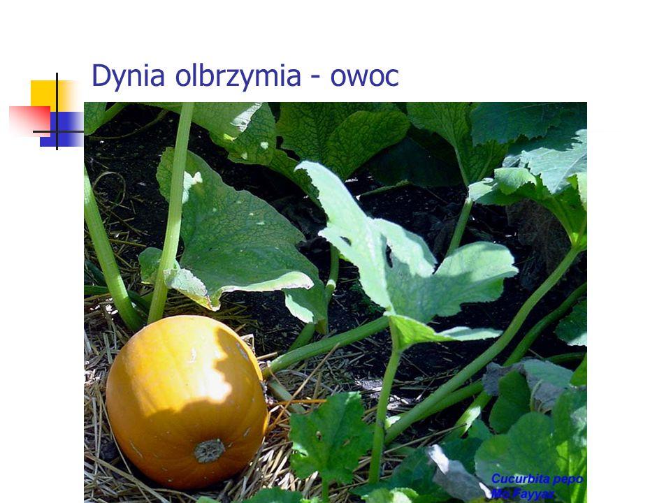 Dynia olbrzymia - owoc