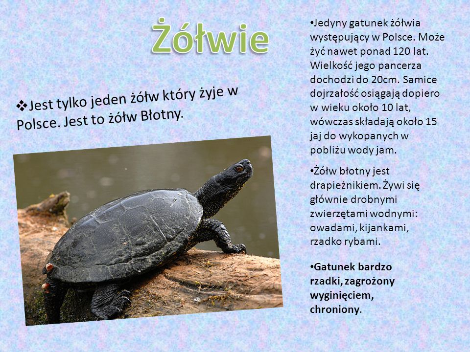  Jest tylko jeden żółw który żyje w Polsce. Jest to żółw Błotny. Jedyny gatunek żółwia występujący w Polsce. Może żyć nawet ponad 120 lat. Wielkość j