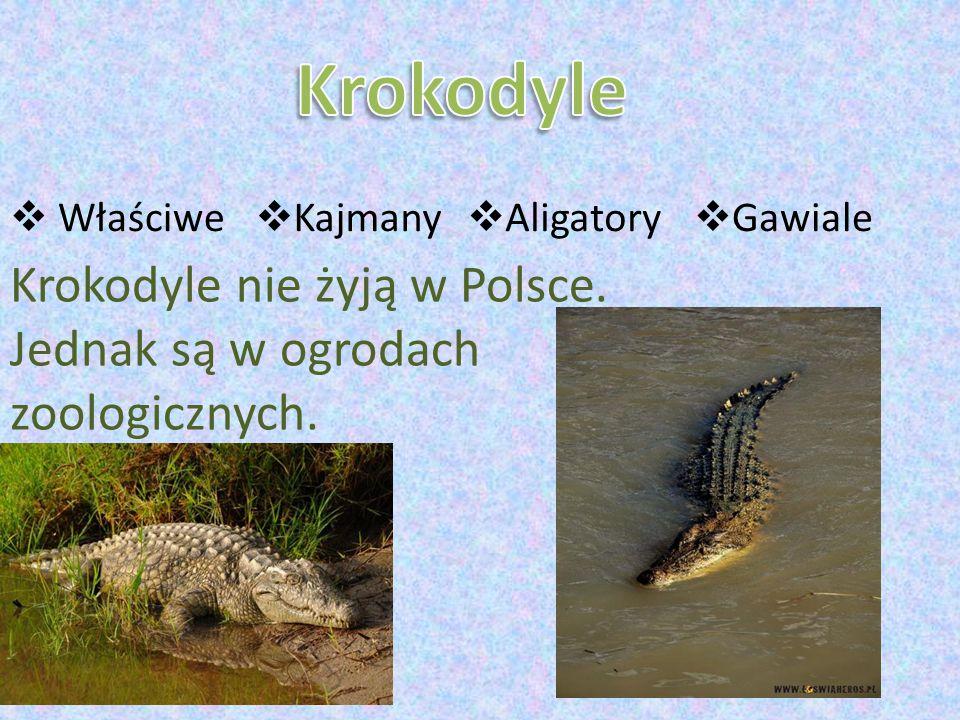  Właściwe  Kajmany  Aligatory  Gawiale Krokodyle nie żyją w Polsce. Jednak są w ogrodach zoologicznych.