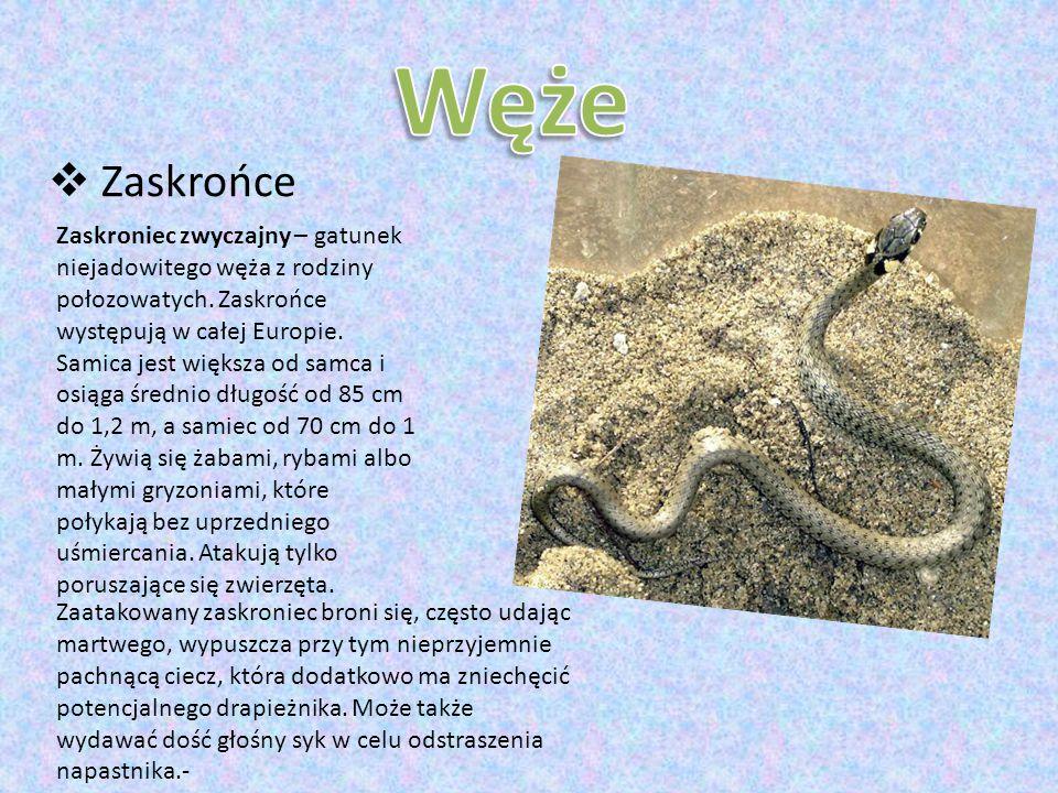  Zaskrońce Zaskroniec zwyczajny – gatunek niejadowitego węża z rodziny połozowatych.