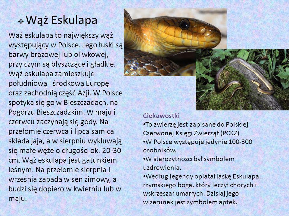  Wąż Eskulapa Wąż eskulapa to największy wąż występujący w Polsce. Jego łuski są barwy brązowej lub oliwkowej, przy czym są błyszczące i gładkie. Wąż