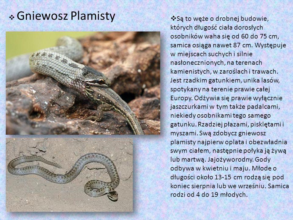  Są to węże o drobnej budowie, których długość ciała dorosłych osobników waha się od 60 do 75 cm, samica osiąga nawet 87 cm. Występuje w miejscach su