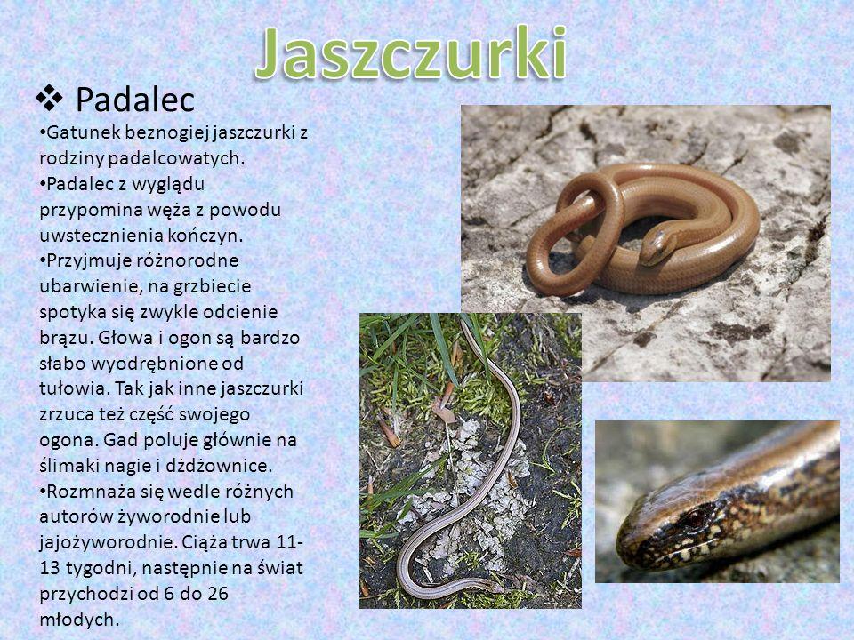 Gatunek beznogiej jaszczurki z rodziny padalcowatych. Padalec z wyglądu przypomina węża z powodu uwstecznienia kończyn. Przyjmuje różnorodne ubarwieni