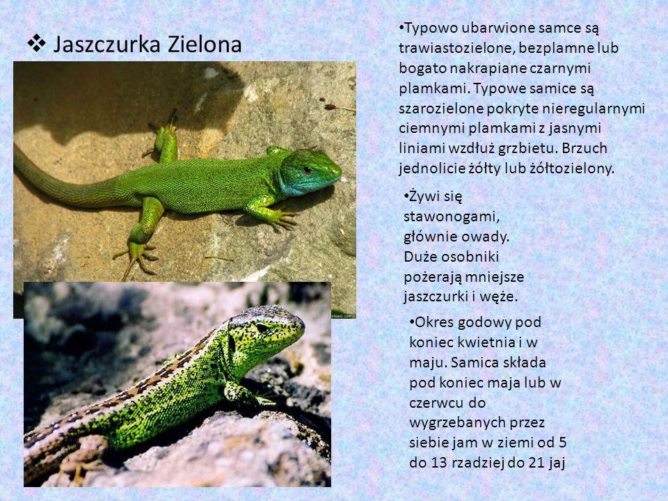  Jaszczurka Zielona Typowo ubarwione samce są trawiastozielone, bezplamne lub bogato nakrapiane czarnymi plamkami. Typowe samice są szarozielone pokr