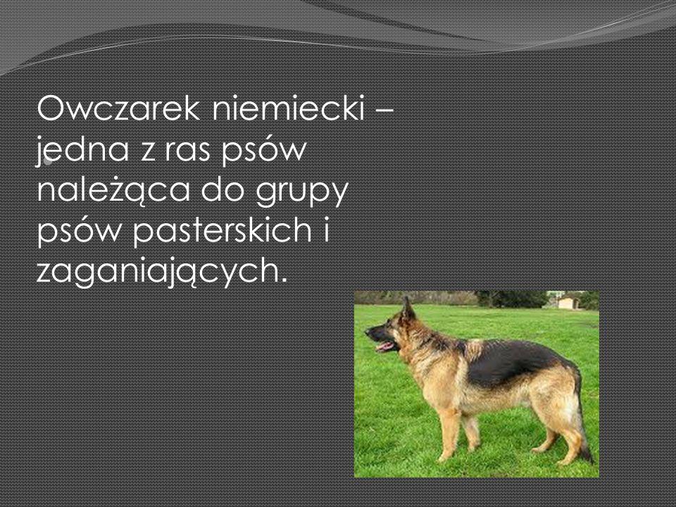 Owczarek niemiecki – jedna z ras psów należąca do grupy psów pasterskich i zaganiających.
