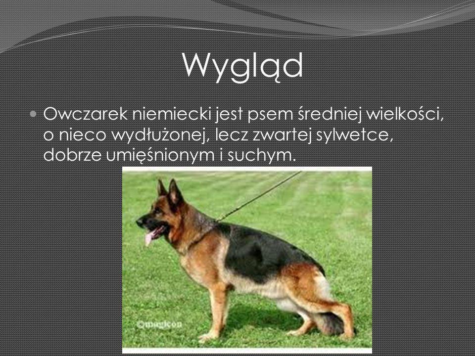 Wygląd Owczarek niemiecki jest psem średniej wielkości, o nieco wydłużonej, lecz zwartej sylwetce, dobrze umięśnionym i suchym.