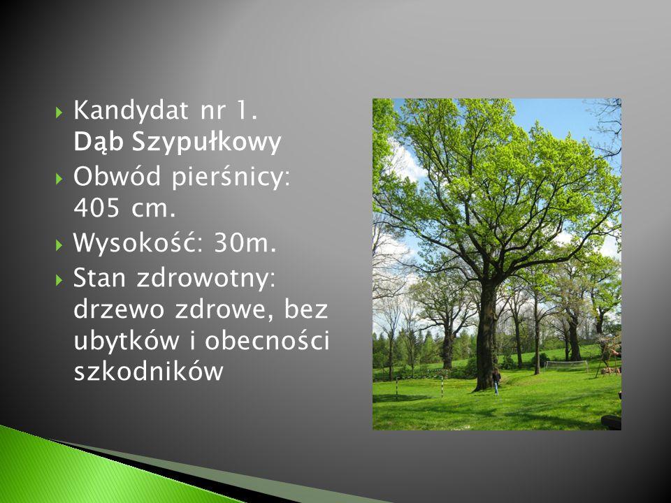  Kandydat nr 1. Dąb Szypułkowy  Obwód pierśnicy: 405 cm.  Wysokość: 30m.  Stan zdrowotny: drzewo zdrowe, bez ubytków i obecności szkodników