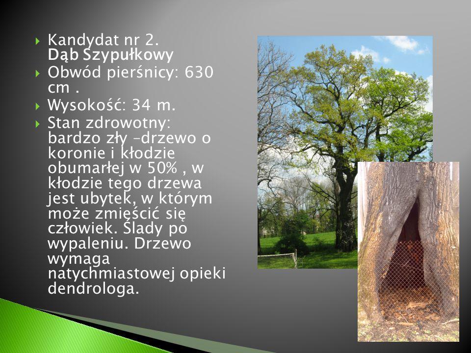  Kandydat nr 2. Dąb Szypułkowy  Obwód pierśnicy: 630 cm.  Wysokość: 34 m.  Stan zdrowotny: bardzo zły –drzewo o koronie i kłodzie obumarłej w 50%,