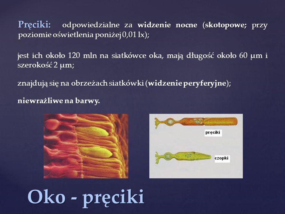 Oko - pręciki Pręciki: odpowiedzialne za widzenie nocne (skotopowe; przy poziomie oświetlenia poniżej 0,01 lx); jest ich około 120 mln na siatkówce oka, mają długość około 60 µm i szerokość 2 µm; znajdują się na obrzeżach siatkówki (widzenie peryferyjne); niewrażliwe na barwy.