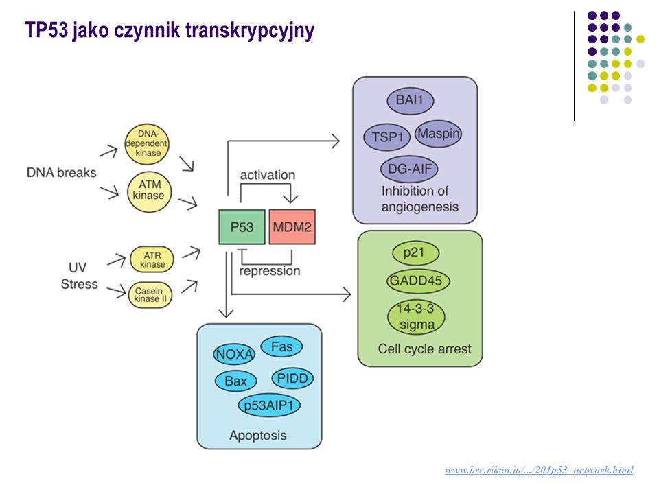 http://p53.free.fr/index.html Regulacja aktywacji TP53  MDM2 negatywny regulator p53: wiąże się z domeną TA p53 eksport p53 z jądra komórkowego funkcja ligazy ubikwityny  PTEN pozytywny regulator p53: defosforyluje PIP3 (Pi3-4-5P) blokada aktywacji Akt/PKB