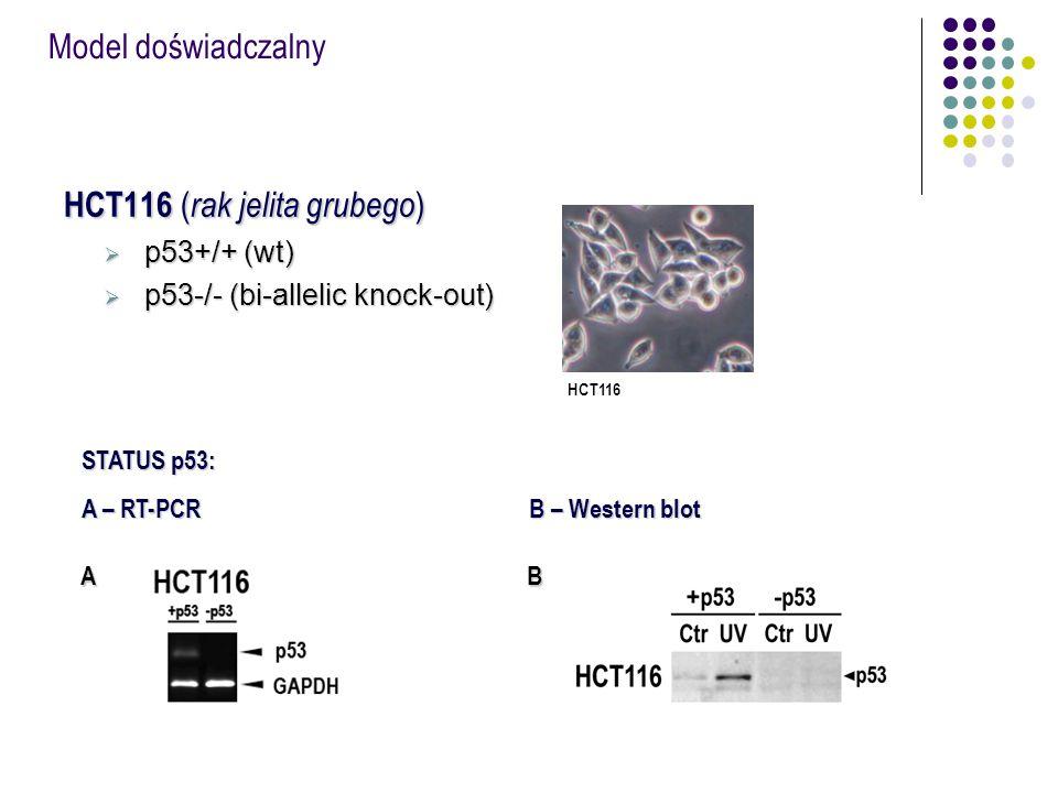 Analiza poziomu ekspresji genów oraz białek TP53 zależnych Linia komórkowa: HCT116 (wt, p53-/-) Analiza (WB, qRT-PCR): regulacja p53 blokada cyklu komórkowego indukcja apoptozy