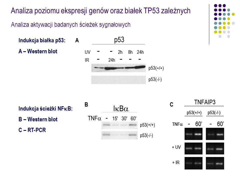 Analiza poziomu ekspresji genów oraz białek TP53 zależnych Analiza aktywacji badanych ścieżek sygnałowych Indukcja białka p53: A – Western blot Indukc