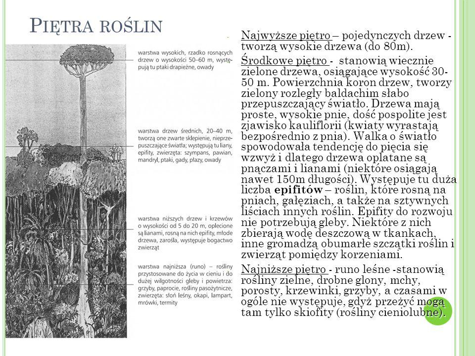 P IĘTRA ROŚLIN - Najwyższe piętro – pojedynczych drzew - tworzą wysokie drzewa (do 80m).