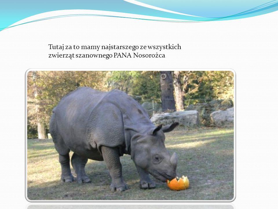 Tutaj za to mamy najstarszego ze wszystkich zwierząt szanownego PANA Nosorożca