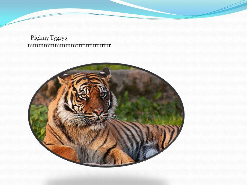 Piękny Tygrys mmmmmmmmmrrrrrrrrrrrrrrr