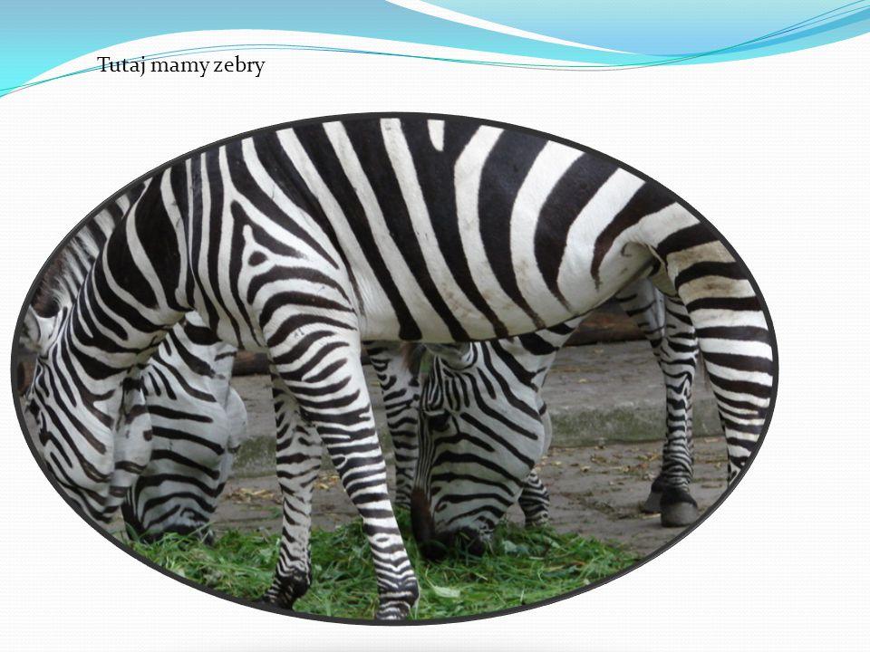 Tutaj mamy zebry
