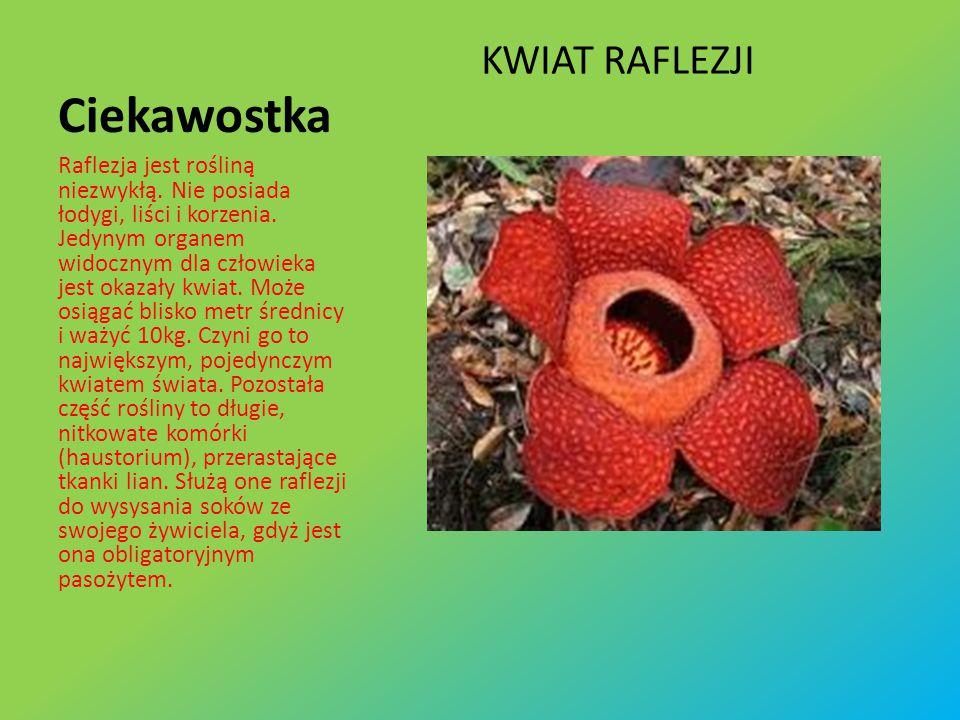 Ciekawostka KWIAT RAFLEZJI Raflezja jest rośliną niezwykłą.