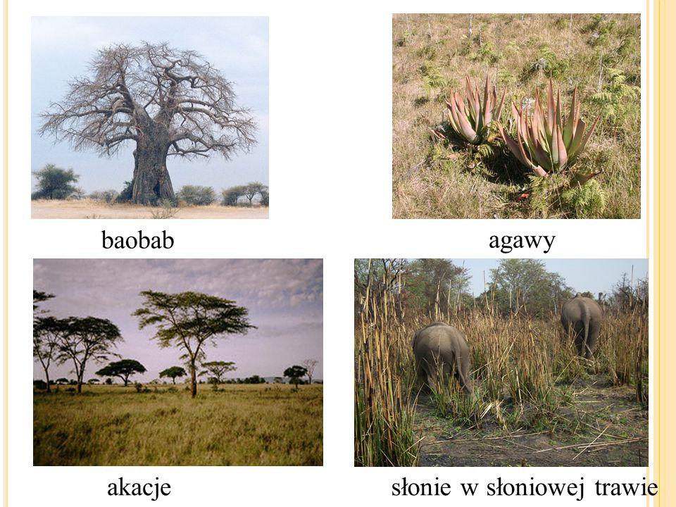baobab akacjesłonie w słoniowej trawie agawy