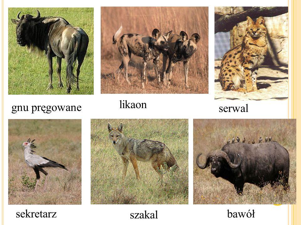 M IESZKAŃCY SAWANNY Ludność plemion afrykańskich zamieszkujących tereny sawanny zajmuje się przede wszystkim polowaniem, zbieractwem, uprawą roli i hodowlą bydła.